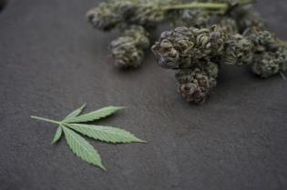 cannabis leaf plant