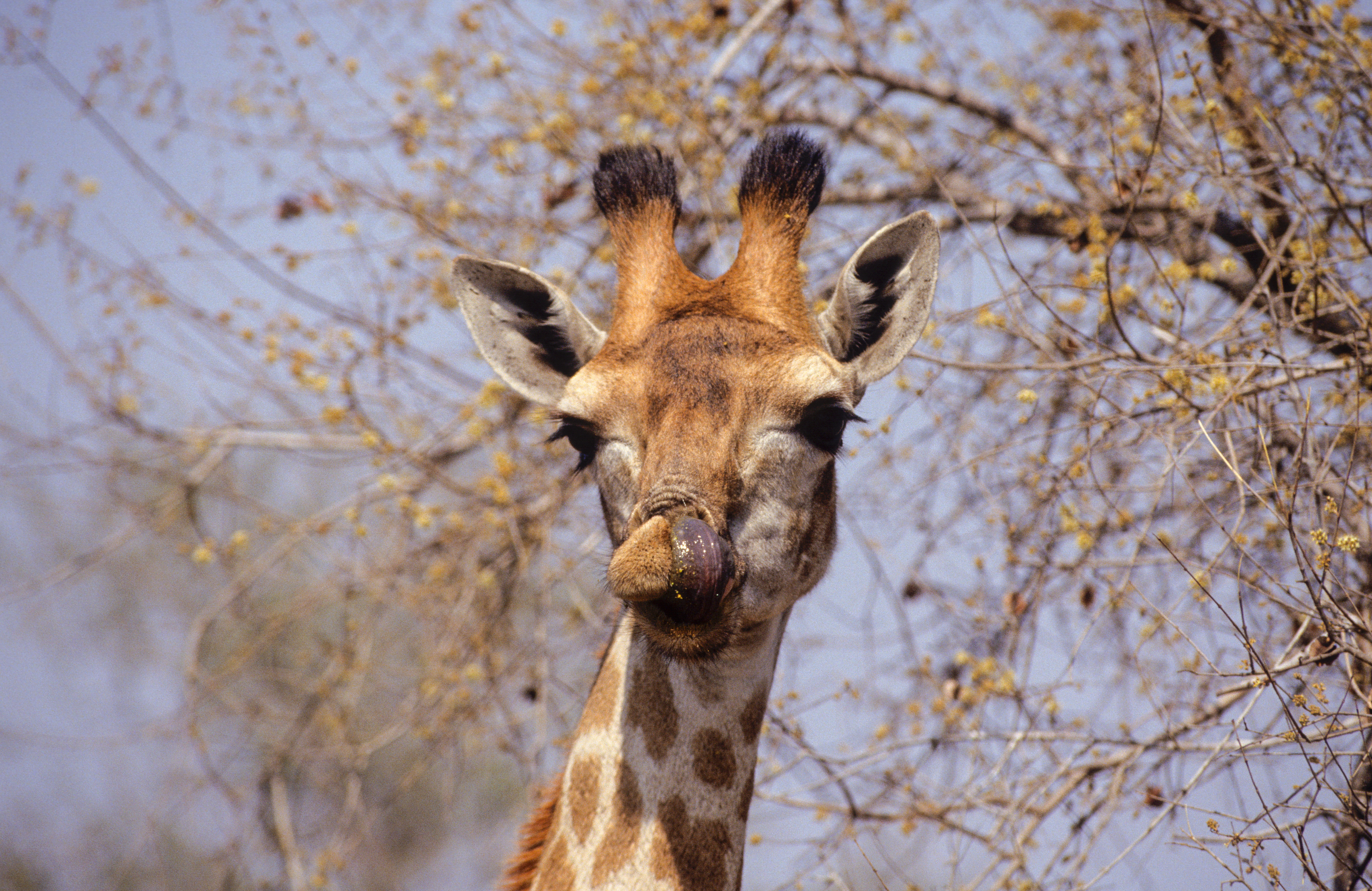 A female Giraffe licks her lips.