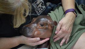 Premature Baby Hippo Is Smallest Calf Ever Born